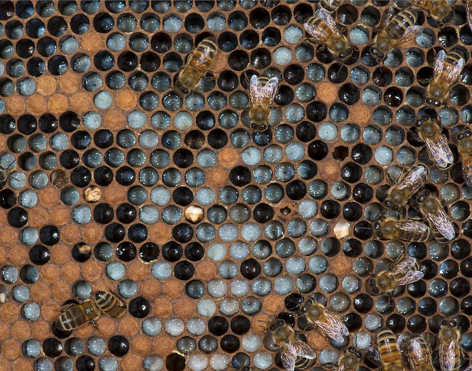 European honey bee (Apis mellifera), larvae, Captive,  credit: Palo Alto JMZ/M.D. Kern