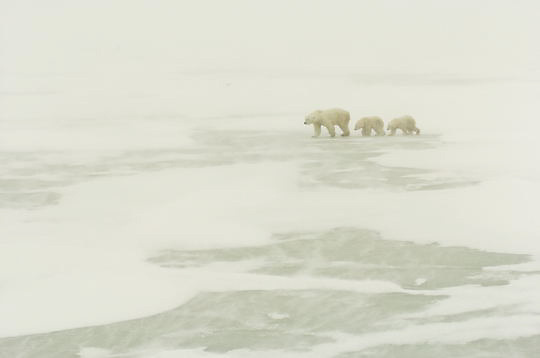 Polar Bear (Ursus maritimus) Mother with her two cubs November. Winter. Along the Hudson Bay near Churchill, Manitoba. Canada.