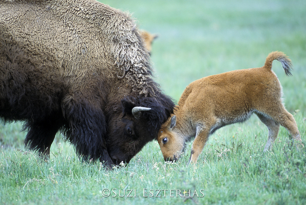 Bison<br /> Bison bison<br /> Cow and calf playing<br /> Yellowstone National Park, MT
