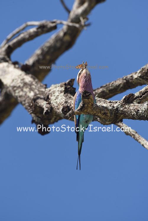 lilac-breasted roller (Coracias caudatus) eats a caught butterfly. Photographed at Kruger NP, South Africa in February
