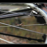 """Bicycling Postcard - Spokes-hopper. Suitable for use on a 4.25"""" x 6"""" printed postcard."""