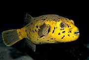 Blackspotted Puffer, Arothron nigropunctatus yellow phase).