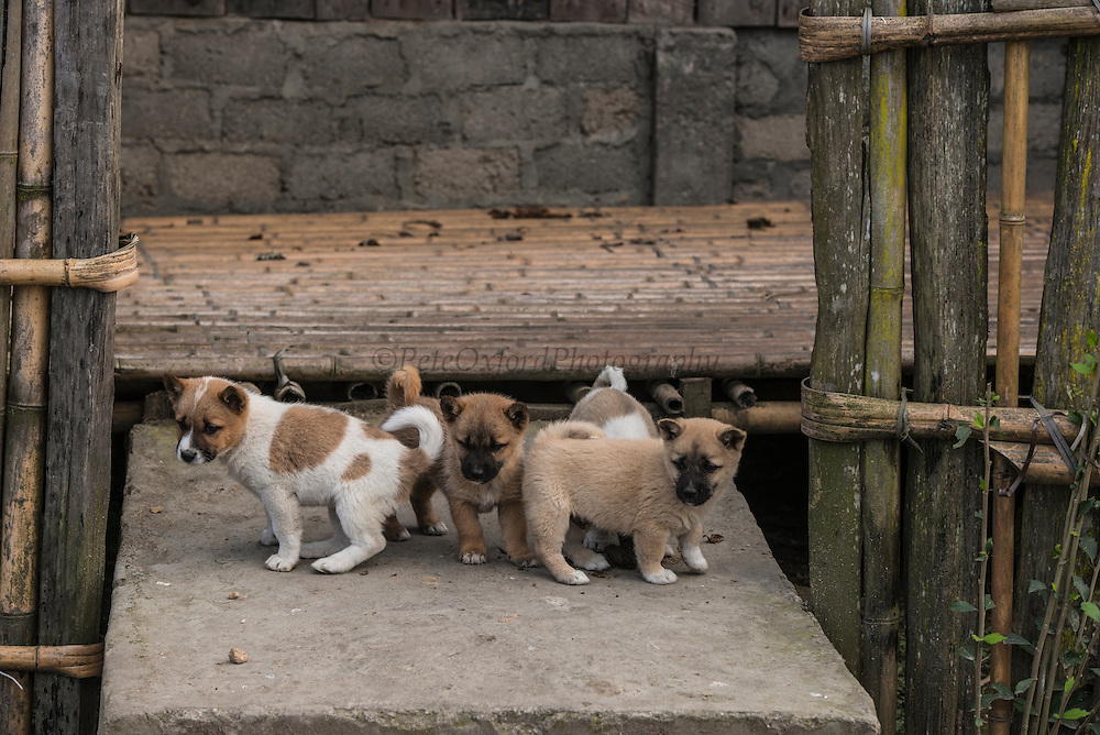 Puppies<br /> These are pets and are also eaten<br /> Apatani Tribe<br /> Ziro Valley, Lower Subansiri District, Arunachal Pradesh<br /> North East India
