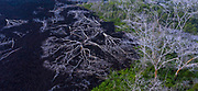 Lava burnt trees, Kilauea Volcano, HVNP, Big Island of Hawaii, Hawaii