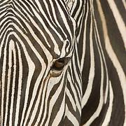 A close up of a zebra. Africa