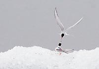 Arctic tern (Sterna paradisea), adult feeding young<br /> Jökulsárlón glacial lagoon<br /> Iceland