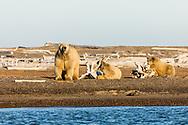 Sow polar bear (Ursus maritimus) and cubs resting on spit along Beaufort Sea on Barter Island in Kaktovik, Alaska. Autumn. Afternoon.