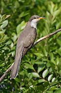 Yellow-billed Cuckoo - Coccyzus americanus