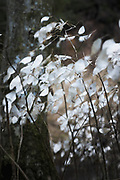 The windswept greyish-white perennial honesty (Lunaria rediviva) in winter next to river Līgatne, Vidzeme, Latvia Ⓒ Davis Ulands | davisulands.com