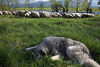 Sheep herd  near a partially flooded area with, in the foreground,  a resting Tornjak: a mountain sheep dog native to Bosnia-Herzegovina and Croatia. Livansko Polje -  karst plateau: is arguably the largest karst field in the world. Ramsar site. May 2009. Bosnia-Herzegovina.<br /> Elio della Ferrera / Wild Wonders of Europe