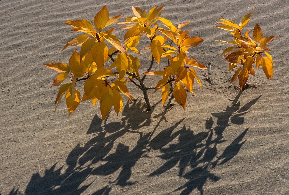 Cottonwood, afternoon shadows, September, Kobuk Dunes Wilderness,  Kobuk Valley National Park, Alaska, USA