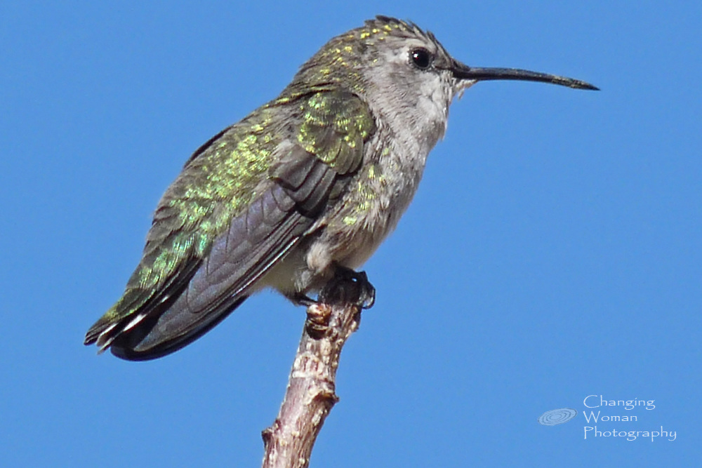 Female Costa's hummingbird perched on the bare tip of a twig; image shows characteristic straight beak, white spot behind the eye, pale gray throat, and green and gold iridescent plumage on back and wing.