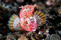Juvenile Scorpionfish on the seafloor <br /> <br /> Shot in Indonesia