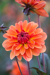 Dahlia 'Orange Pekoe'