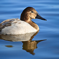 Morning portrait with reflection of a female canvasback (Aythya valisineria) on the Choptank River, Cambridge, Maryland