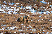 A grizzly bear bull forages in a blueberry patch dusted with an early season snow in Denali National Park, McKinley Park, Alaska.