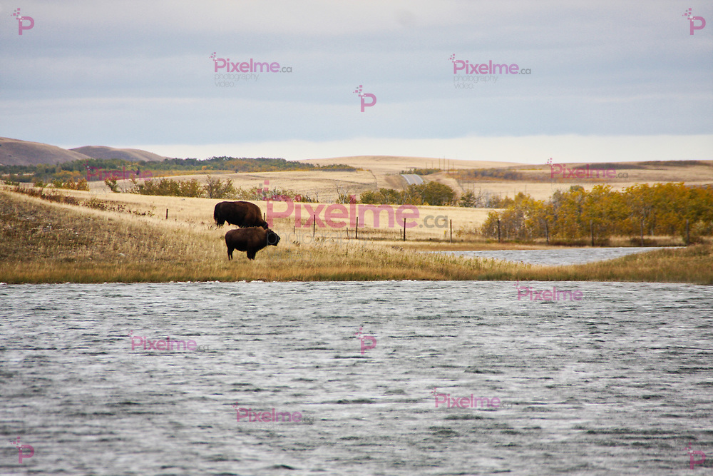 Two bisons graze and drink water in a protected area of waterton national park in canada