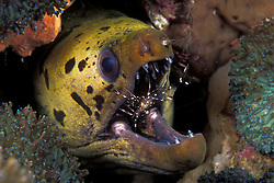 Say Ahh! A Fimbriated Moray, Gymnothorax fimbriatus, opens wide as a daring cleaner shrimp, Urocaridella sp., searches for parasites and food scraps among the eel's impressive teeth. Black Rock, Mergui Archipelago, Myanmar/Burma, Andaman Sea
