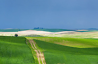 Road running through rolling hills of green wheat fields in the Palouse region of the Inland Empire of Washington