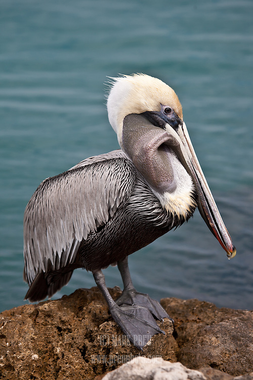 An adult brown pelican works to swallow a fish.