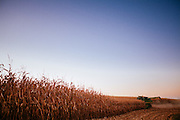 Harvesting Corn in Iowa.<br />