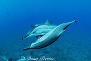Hawaiian spinner dolphins or Gray's spinner dolphin, Stenella longirostris longirostris, socializing, off Kekaha Kai State Park, Mahaiula, North Kona, Hawaii ( the Big Island ), Central Pacific Ocean