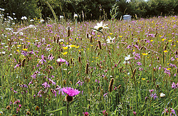 Grasses, ragged robin, buttercups, ox eye daisies and knapweed in the meadow at Sticky Wicket, Dorset