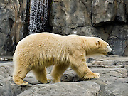 A polar bear (Ursus maritimus) in the Alaska Zoo, Anchorage, Alaska, USA. Polar bears live mostly within the Arctic Circle, Arctic Ocean, and surrounding land. It is the world's largest land carnivore and the largest bear, together with the similar sized Kodiak Bear.