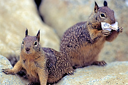 California Ground Squirrels One With Paper