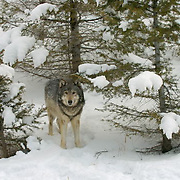 Gray wolf (Canis lupus) Adult in snow capped forest. Montana. Winter. Captive Animal.