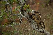 Brown Capuchin Monkeys<br />Cebus apella<br />Cerrado Habitat, Piaui State.  BRAZIL.  South America