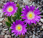 Close-up of a trio of bright mauve flowers of Delosperma ashtonii growing amongst stones in West Acre Gardens in Norfolk