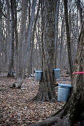 Buckets hang on the maple trees of Funks Grove Timber in McLean County IL collecting sap which will be processed into Maple Sirup at a local processing facility and offered for sale to the public