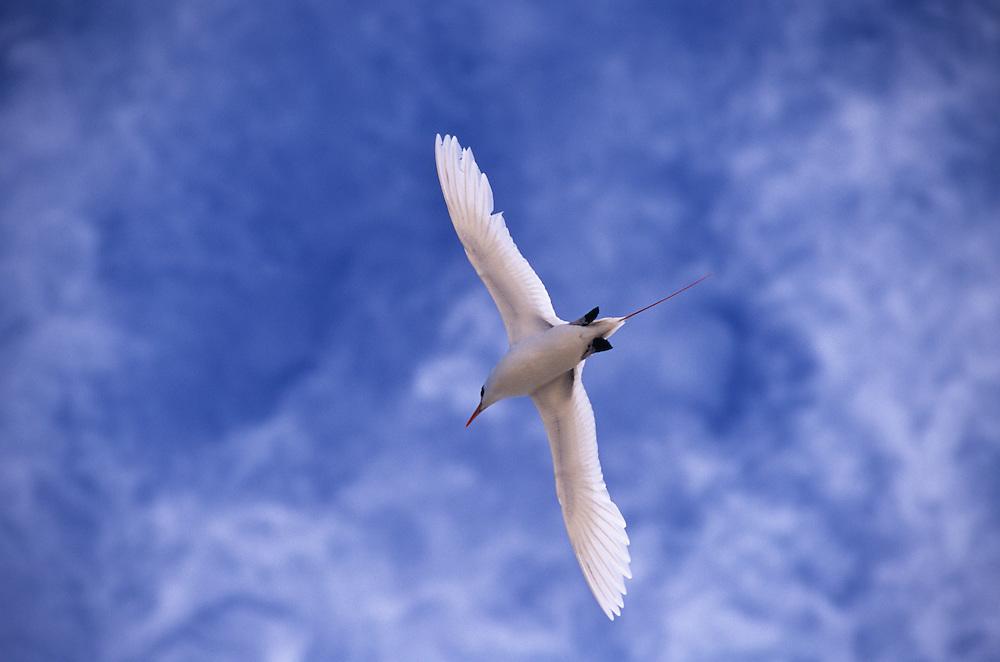 Cook Islands, K?ki '?irani, South Pacific Ocean, Topic Sea Bird, Aitutaki