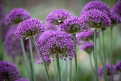 Allium stipitatum 'Violet Beauty' AGM with bumblebee