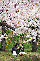 Hanami is the Japanese traditional custom of enjoying the beauty of flowers, in this case almost always meaning cherry blossoms.  The tableau consists usually of a picnic under the cherry trees with friends or family, though the evening version tends to be more company employee outings complete with beer, karaoke and revelry.