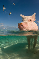 This feral pig seems to be enjoying the clear, warm water while waiting for handouts from visiting boaters.  Exumas, Bahamas, Atlantic Ocean