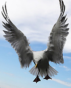 Gulls are big and boisterous and will grab your pizza slice, French fry, or fish and chips if given the chance. This local at the Seattle waterfront... (Alan Berner / The Seattle Times)