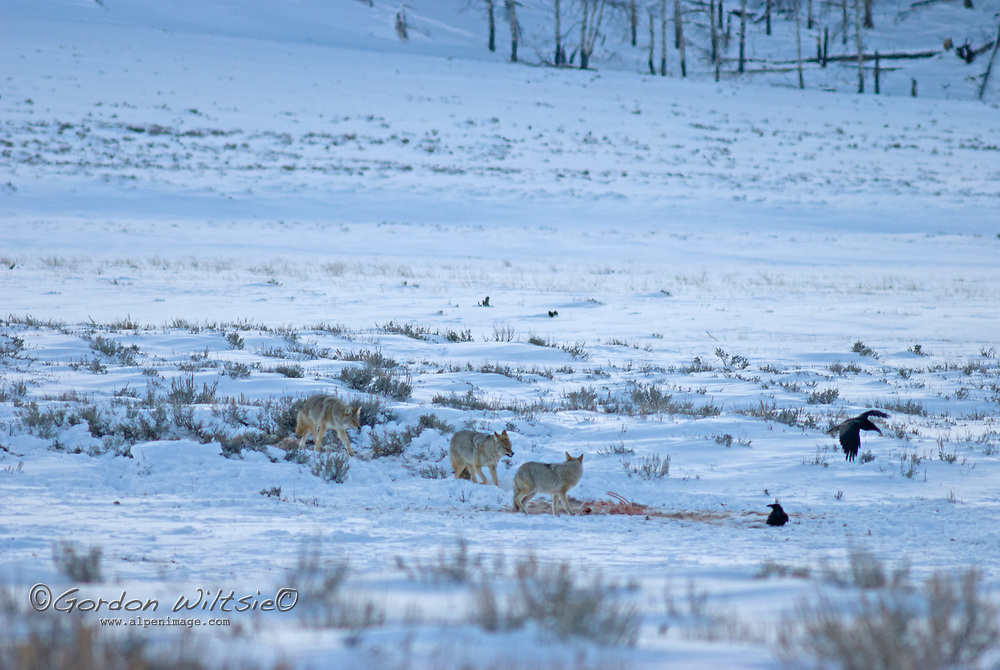 Coyotes, Ravens and Magpies squabble over an animal carcass in Yellowstone National Park, Wyoming