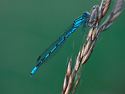 Common Blue Damselfly, devouring moth, Enallagma cyathigerum, feeding, eating, prey, predator