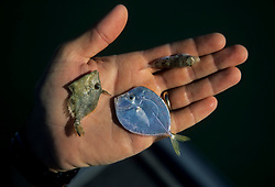 Stock photo of three small fish held in a man's hand