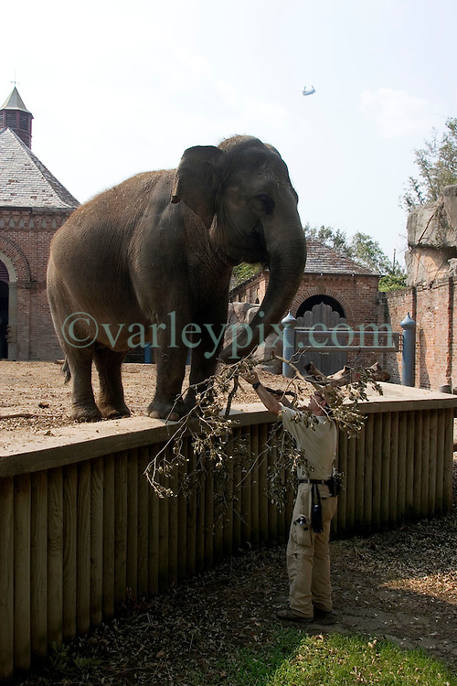 03 September 2005. New Orleans, Louisiana.  Post Hurricane Katrina.<br /> The elephants appear nervously from their enclosure at the first humans to come and visit them since the storm hit.<br /> Photo Credit ©: Charlie Varley/varleypix.com