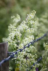 Hedge bedstraw growing through barbed wire fence. Galium mollugo