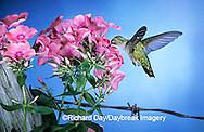 01162-062.14 Ruby-throated Hummingbird (Archilochus colubris) female at Garden Phlox (Phlox paniculata) Shelby Co. IL