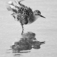A semipalmated sandpiper (Calidris pusilla) shakes out its plumage after bathing in a shallow pool near the Mispillion Inlet, Slaughter Beach, Delaware. Black and white image.