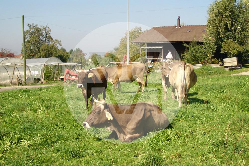 SCHWEIZ - MEISTERSCHWANDEN - Hornkühe auf einer Weide - 21. September 2006 © Raphael Hünerfauth - http://huenerfauth.ch