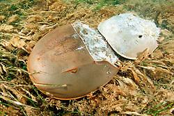 horseshoe crabs, mating .(larger female at bottom), .Limulus polyphemus, .Florida Bay, Everglades National Park..