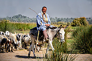 Shepherd tending his sheep whilst riding his Donkey at Dahshur lake