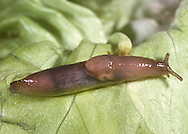 Brown Field Slug - Deroceras panormitanum