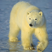 Polar Bear (Ursus maritimus) portrait of young bear. Churchill, Manitoba, Canada